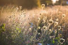 Warm evening (xkolba) Tags: nature plant bokeh outdoor pentacon 135mm summer pentacon135mmf28 deptoffield m42 sunset meadow podlasie grass depthoffield