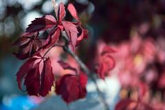 """Virginia Creeper"" (helmet13) Tags: d800e raw flora virginiacreeper parthenocissusquinquefolia leaves red autumn fall selectivefocus bokeh colors aoi peaceaward heartaward world100f"