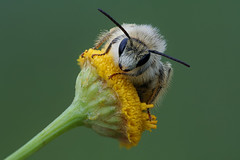 Colletes (andre de kesel) Tags: hymenoptera zijdebij tanacetumvulgare asteraceae colletidae focusstacking fieldstack sonya6500 metaboneseftosonye canonef100mm128lisusm zerenestacker macro insect bees colletes