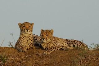 beautiful Cheetah Cubs at Sunset