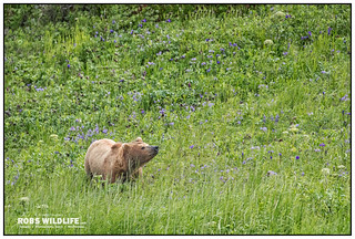 Alaska Brown Bear 070117-9663-W.jpg