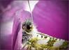 Das Auge (sinepo) Tags: pink insekt schmetterling auge fühler flügel muster haare