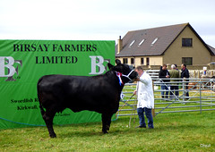A Dounby Show Champion Cow (orquil) Tags: dounbyshow agricultural livestock enclosure champion adult black heifer cow posing display groom presentation birsayfarmers poster fencing spectators dounby house westmainland dry calm august summer afternoon farming farmers competition orkney islands scotland uk unitedkingdom greatbritain britain orcades nice interesting attractive memorable eyecatching seasonal unusual