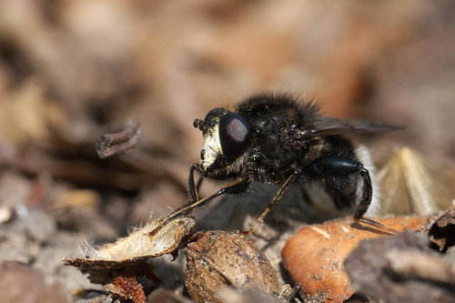 Bumblebee-mimicking hoverfly (Criorhina ranunculi), Parc de Woluwé, Brussels