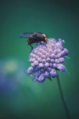 hornet mimic hoverfly (christian mu) Tags: flowers hornetmimichoverfly nature bokeh summer germany münster muenster botanicalgarden botanischergarten schlossgarten christianmu 9028g 90mm 9028 sonya7ii sony macro insect