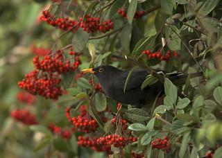 Eurasian Blackbird DSC_7975