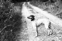 IMG_1049 (bia93snow) Tags: dog englishsetter woods freedom walk nature