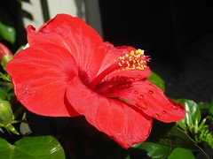 Hibiscus in the rain! (Annie Christoffersen) Tags: