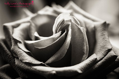 Black and White Rose Petals (Kelly Love's Photography) Tags: canoneos photoshop canon650d botany rosepetal toned picture monochrome eos6d photography bw mushroomcolour petal petals rose botanic canonphotography blackandwhite floral mono canoneos6d canon6d texture textures photographer botanics flower botanical splittone 6d photoshoot canon