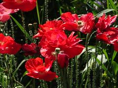 A bright splash of red (peggyhr) Tags: peggyhr poppies wild red green sunlight hillside bluebirdestates alberta canada dsc06769 carolinasfarmfriends