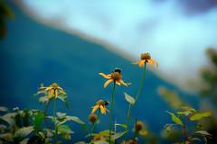 Wildflowers (dorameulman) Tags: wildflowers macro bees blueridgeparkway northcarolina us dorameulman canon7dmark11 canon landscapephotography landscape haiku outdoor appalachianmountains greatsmokeymountains
