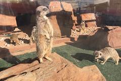 Meerkat (arrancat) Tags: animal mammal meerkat county fair westmorland cumbria lake district stand watch