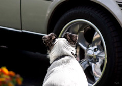 a guarded dog... (Stu Bo) Tags: mydog security watching sbimageworks mymach1 musclecar stang mustanglust worldcars warrior wheels puppy home