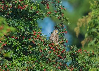 Kestrel ( Falco tinnunculus ) Male