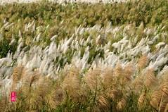 102天兔前蘆竹與甜根子草 (16) (jm7672) Tags: 芒花 甜根子草 蔗屬 濁水溪 清水溪 秋天 夕照