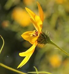 Perfil (marysaesteban) Tags: 7dwf flora flowers flower madrid realjardinbotanico spain compositae