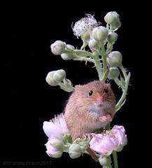 Harvest Mice 1