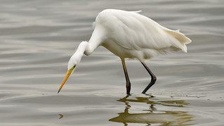 Great White Egret (Ardea alba).