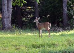 Teenage Bambi (Walkuere123) Tags: odocoileusvirginianis whitetaileddeer weiswedelhirsch venadodecolablanca yearling hirschkalb cervatillo animal tier outdoor canadianwildlife