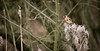Goldfinch (mak_9000) Tags: golfinch nature wildlife 55250 efs