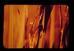 Ear Cutting Caterpillar = ヨトウガの類が花を食べている