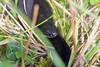 Melanistic European Adder, Bolderwood, New Forest, Hampshire, UK (rmk2112rmk) Tags: adder melanisticadder bolderwood newforest hampshire uk blackadder snake viper vipera berus reptile herps