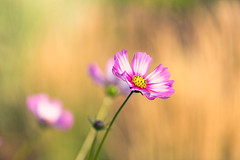 Cosmos (mclcbooks) Tags: flower flowers floral cosmos denverbotanicgardens colorado summer