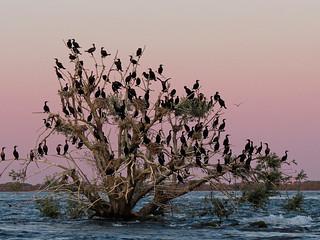 Colonie de cormorans à aigrettes
