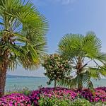 Mainau Bodenseeufer mit Palmen thumbnail