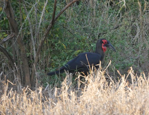 """050 - Southern Ground Hornbill • <a style=""""font-size:0.8em;"""" href=""""http://www.flickr.com/photos/95373130@N08/36798814935/"""" target=""""_blank"""">View on Flickr</a>"""