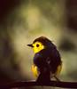 Collared Whitestart (Myioborus torquatus) (berniedup) Tags: monteverde cloudforest costarica collaredwhitestart myioborustorquatus bird taxonomy:binomial=myioborustorquatus