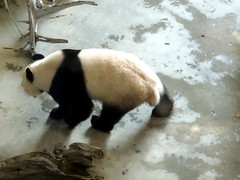 rhenen_1_063 (OurTravelPics.com) Tags: rhenen the giant panda wu wen her residence pandasia ouwehands dierenpark zoo