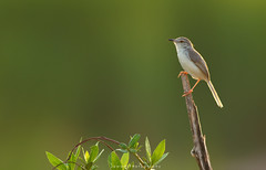 Plain Prinia (Jawad_Ahmad) Tags: nature naturephotographer naturelover naturephotography wildlifephotography wildbird beautyofnature birds birdphotography birdwatcher flicker travel colors bokeh perch jawadsphotography sialkot pakistan