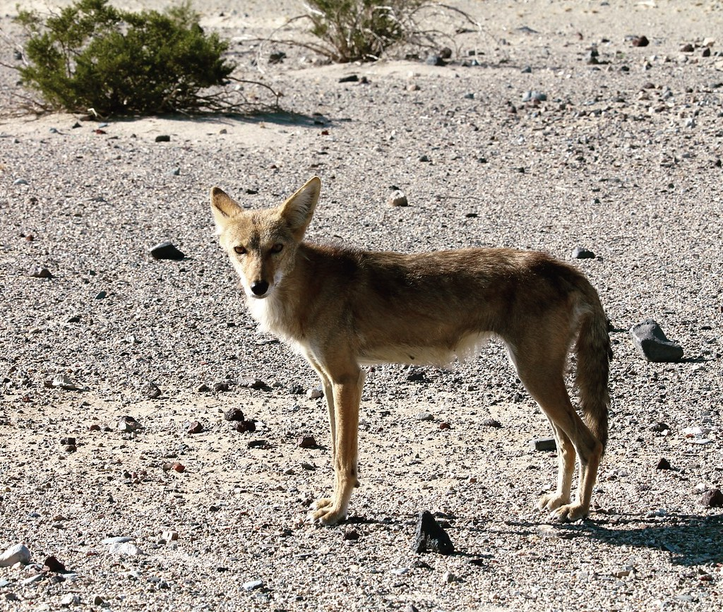 coyote research paper Research & studies many non government organizations (ngo) and non-profit organizations (npo) study and conduct research on birds, often inviting the public to.