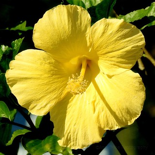 Beautiful Yellow Hibiscus