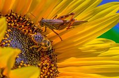 Crowded House (fotofrysk) Tags: sunflower yellow neighboursgarden cricket gryllidae honeybee apis apidae macro canada ontario thornhill cityofmarkham afsmicronikkor105mm28ged nikond7100 201709065531