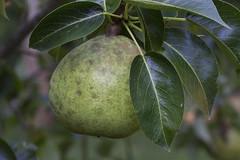 Doyenne du Comice? (brucetopher) Tags: comice pear fruit fresh freshfruit tree fuittree fall organic green