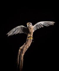 Kestrel (susie2778) Tags: olympus omdem1mkii libertys captive captivelight flash studio bird 12100mmf4pro olympusm12100mmf40 kestrel wings