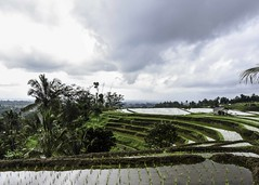 Jatiluwih Rice Terraces, Ubud (Simon Clare Photography) Tags: jatiluwih rice terraces jatiluwihriceterraces paddies ricepaddies jatiluwihricepaddies bali ubed ubud indonesia travel trip visit explore landscape beauty nikon d7200 photography digital day summer 2017 august clouds reflection sclarephoto simonclare simoncphotography photographs for sale wwwsimonmaisiephotographycoukprints