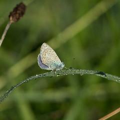 Se sécher au soleil (Gisou68Fr) Tags: pré meadow rosée des morning papillon butterfly commonblue azurécommun polyommatusicarus azurédelabugrane argusbleu canoneos650d efs18135mmf3556isstm