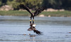 Talon Lock (kilohotelphoto) Tags: 600mm f4 bald eagles locked talons