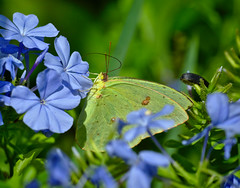 Clouded Sulphur on Plumbago (heric09) Tags: butterfly insect cloudedsulphur sulphur