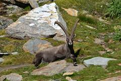 Il grande stambecco (supersky77) Tags: ibex alpine stambecco capraibex salza lys gressoney alpi alps alpes alpen aosta valledaosta
