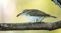 IMG_3357  Red-eyed Vireo (ashahmtl) Tags: redeyedvireo vireo songbird vireoolivaceus fallmigration presquileprovincialpark ontario canada