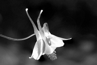 delicate white aquilegia (columbine) shines with light in the summer sun. Black & white fine art macro view from a Potterton garden, Aberdeenshire, Scotland
