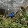 Stengelloze gentiaan / Gentiana acaulis (m.ritmeester) Tags: maurach tirol oostenrijk groen grijs bruin blauw gentiaan berg rofan mauritzspitze