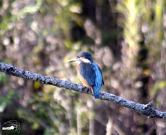 _IMG1317 (fr€d-r0c-31) Tags: domaine ddo ladddo sud mazères pentax k3 bokeh wwwlesamisdudomainedesoiseauxfr fredroques france martinpêcheurdeurope alcedoatthis commonkingfisher coraciiformes alcédinidés