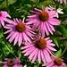 Trio of Pink Cone Flowers (esywlkr) Tags: coneflower ping flower haywoodcounty nc wnc northcarolina nature