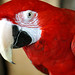 DSC09779 - Green-winged Macaw