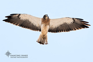 _45A2513 Swainson's Hawk ©Dancing Snake Nature Photography